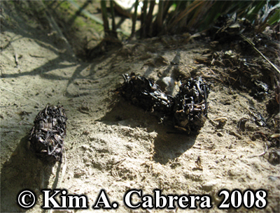 River otter                     scat on small knob overlooking river. Lutra                     canadensis. Photo copyright by Kim A. Cabrera 2008.
