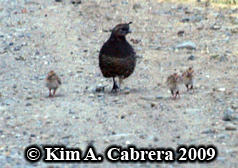 Quail with babies