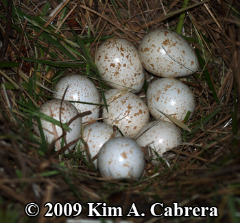 Quail                     nest with unhatched eggs