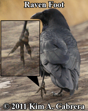 raven                       showing foot