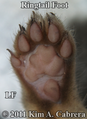 ringtail left front foot photo