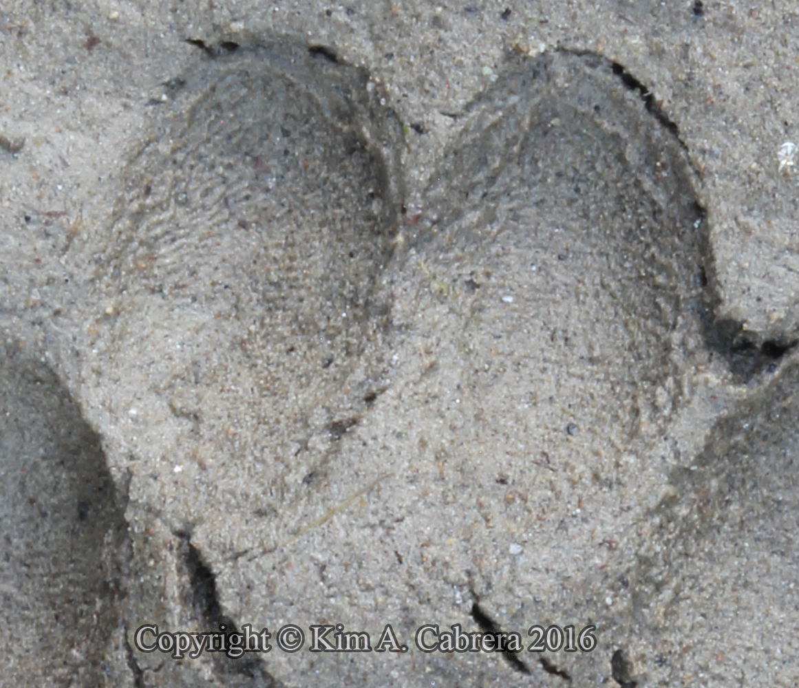 Ringtail track in mud