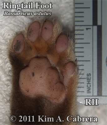 ringtail right hind foot photo