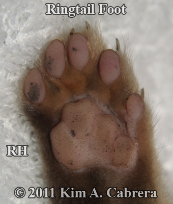 right hind foot of a ringtail