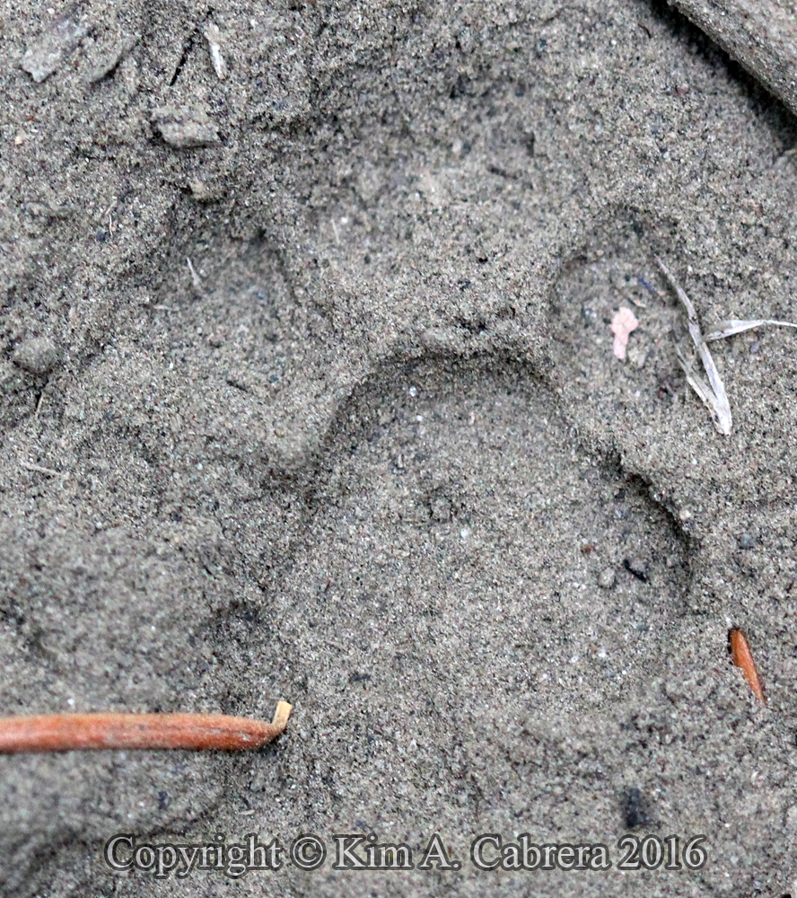 Ringtail track in dust under bridge