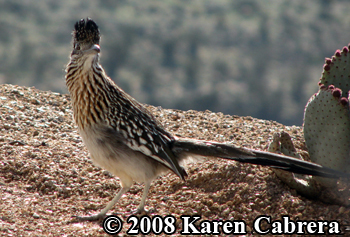 roadrunner in Arizona