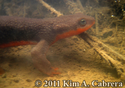 male newt in puddle