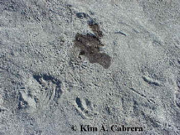 Seal urine                     spot and raven tracks. Photo by Kim A. Cabrera.