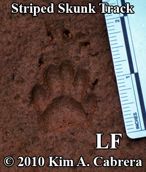 Perfect left front striped skunk track, showing long claws for digging