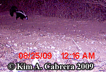 A skunk whose photo was taken with a trail camera