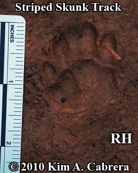 Right hind striped skunk track