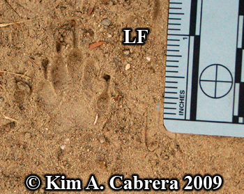 Left front striped skunk track in dust