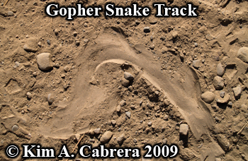gopher snake track. photo copyright by Kim A.                   Cabrera 2009