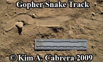 gopher snake                 track. Photo copyright by Kim A. Cabrera 2009.