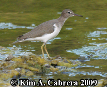 spotted sandpiper on shore