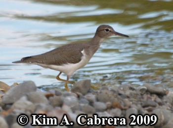 spotted sandpiper on shore hunting