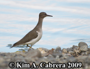 spotted sandpiper on the Eel River