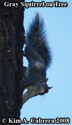 gray squirrel on tree. Photo copyright Kim A. Cabrera 2008.