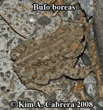 Western toad outside at night. Photo copyright                     Kim A. Cabrera 2008.
