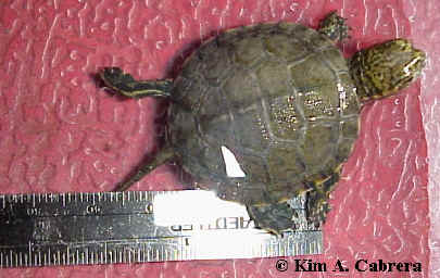 Baby turtle with ruler for scale. Photo copyright Kim A. Cabrera.