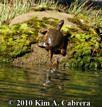 turtle on rock close up. Photo copyright Kim A. Cabrera.