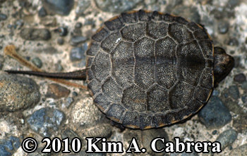 Western pond turtle hatchling. Photo copyright Kim A. Cabrera.