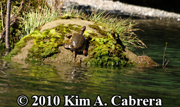 on a rock basking. Photo copyright Kim A. Cabrera.