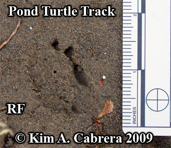 track of a western pond turtle