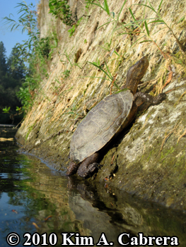 a basking turtle. Photo copyright Kim A. Cabrera.