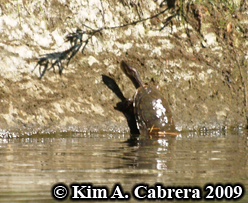 pond turtle leaving the water. Photo copyright                     Kim A. Cabrera.