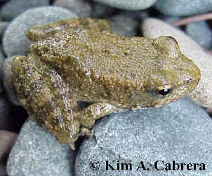 Young                   yellow-legged frog. February 3, 2001. Photo taken                   along Eel River near Redway, California by Kim A.                   Cabrera.