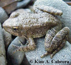 Young yellow-legged frog. Photo by Kim A.                     Cabrera. February 3, 2001.