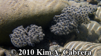 two egg masses attached to rocks. Photo                     copyright Kim A. Cabrera