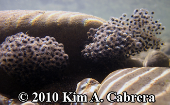 two frog egg masses clustered underwater. Photo                   copyright Kim A. Cabrera